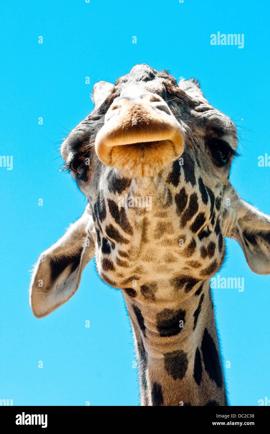 Lustige Giraffe Kopf mit übertriebenen Farben von unten betrachtet Stockbild