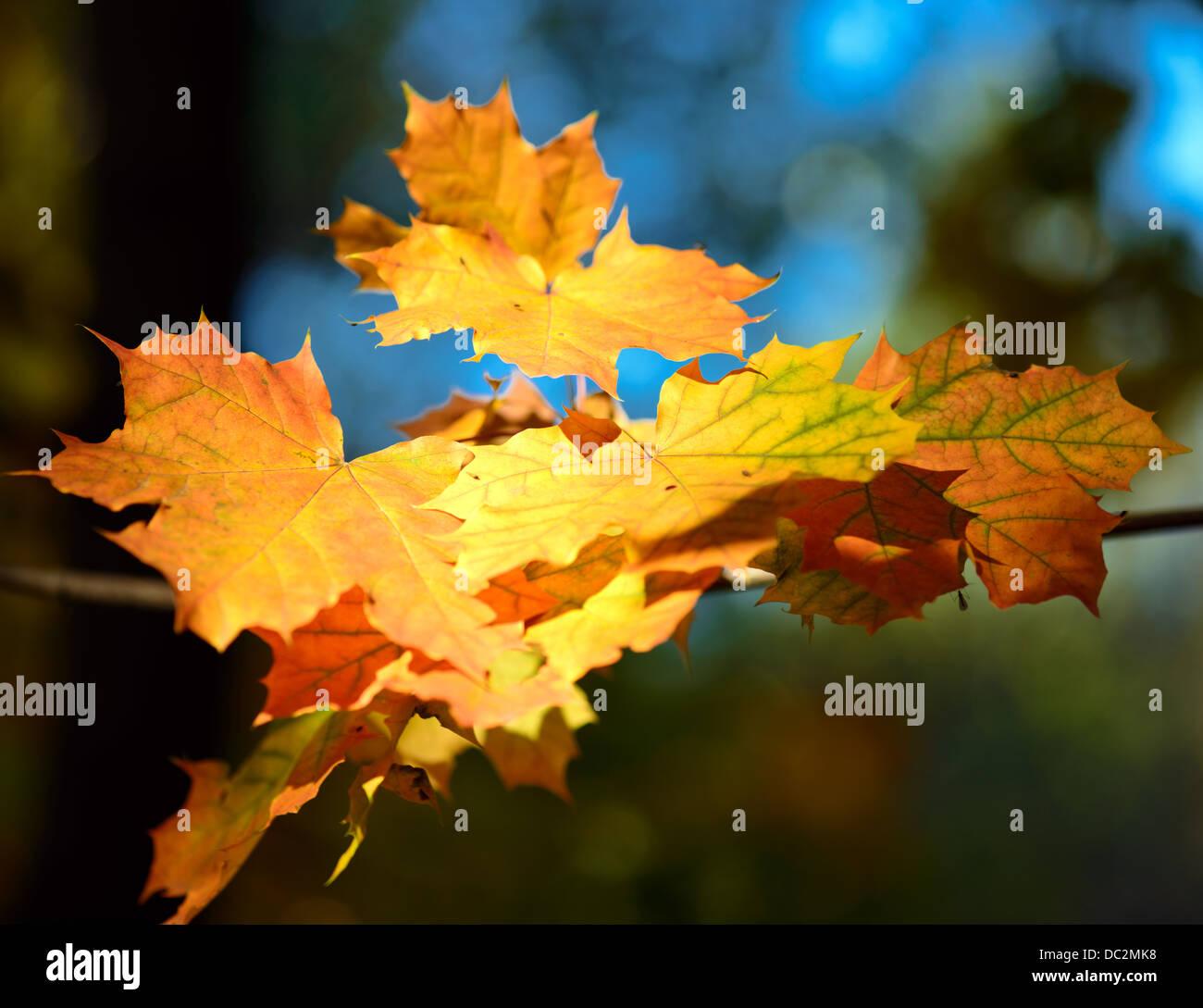 Rot und gelb fallen Ahornblätter auf Ast Stockbild