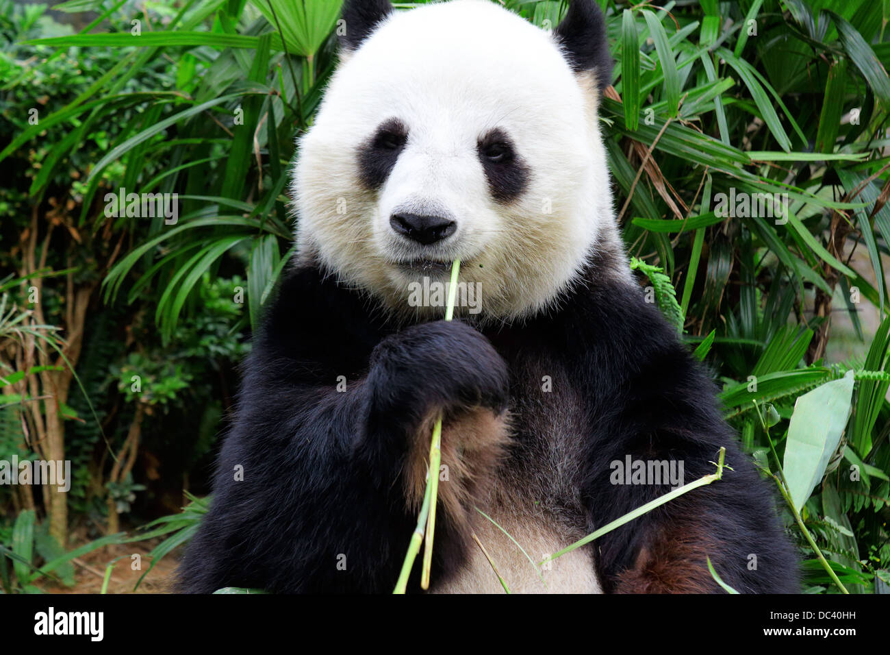 Panda Bambus Essen Stockfoto Bild 59095277 Alamy