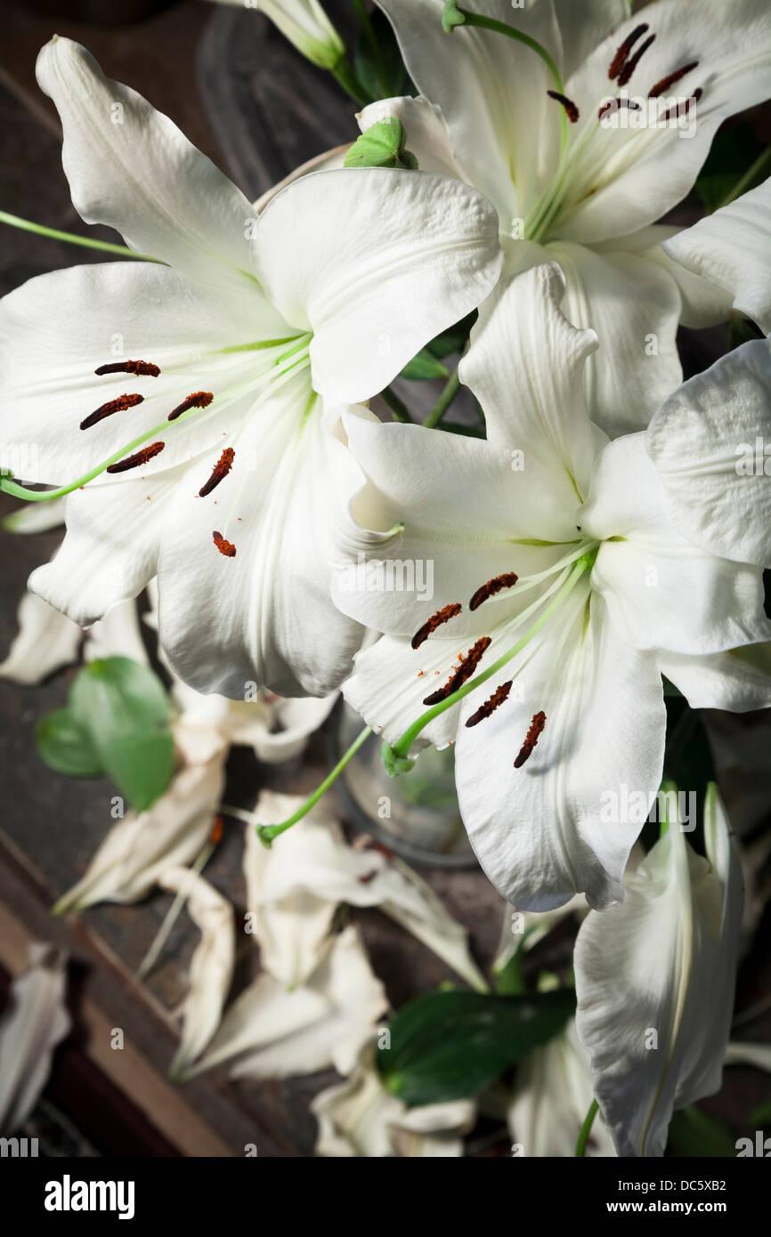 Vase weiße Lilien mit fallenden Blütenblätter, wie sie sterben Stockbild