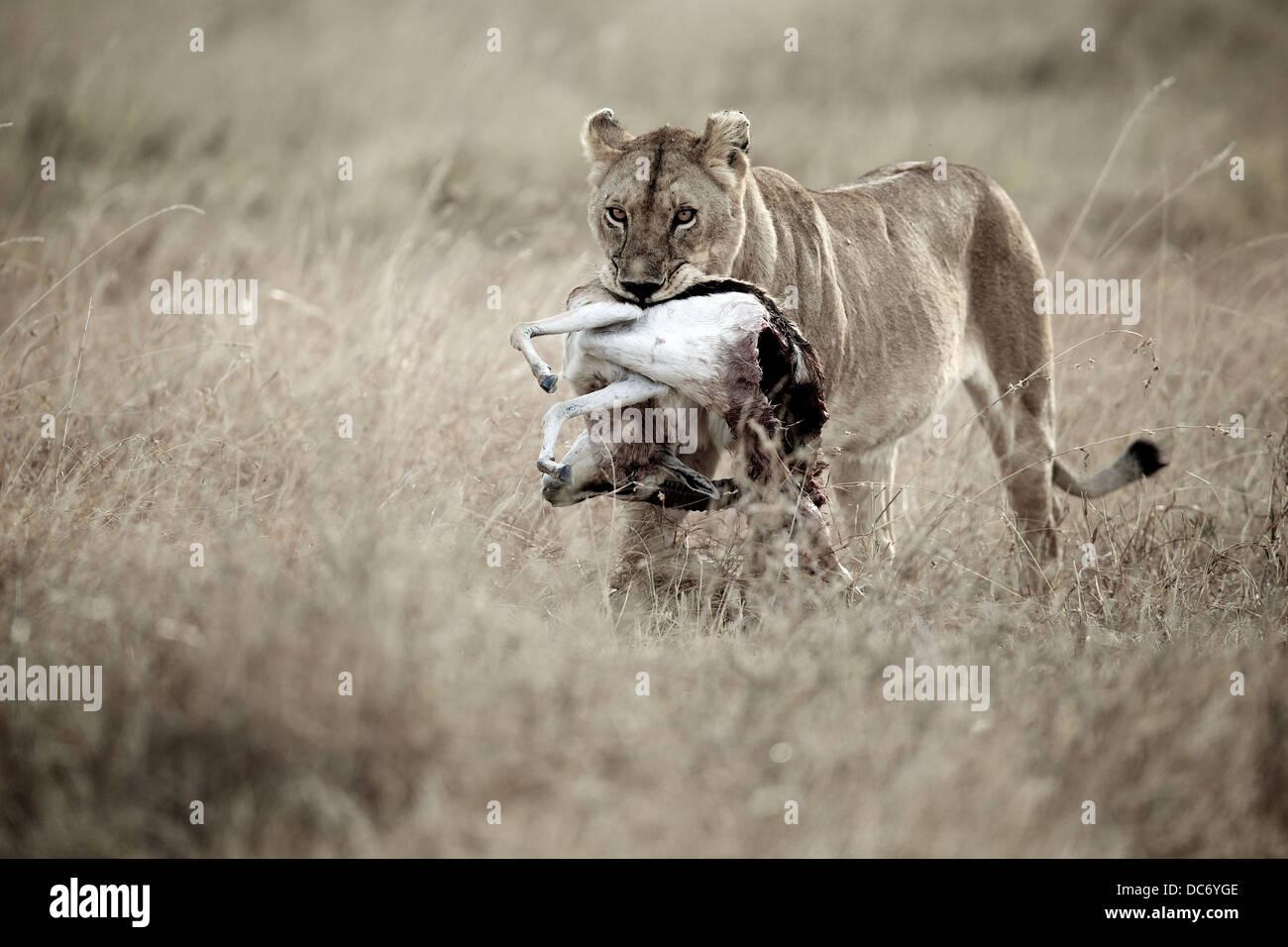 Weibliche Löwen Mutter mit Gazelle Beute. Serengeti. Tansania Afrika. Stockbild
