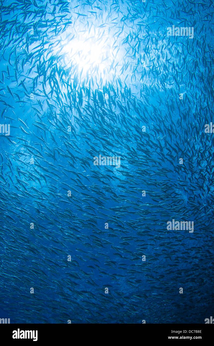 Spratelloides Gracilis - Silber-Streifen Runde Hering Schwarm / bait Ball am Kap Maeda, Okinawa. Stockbild