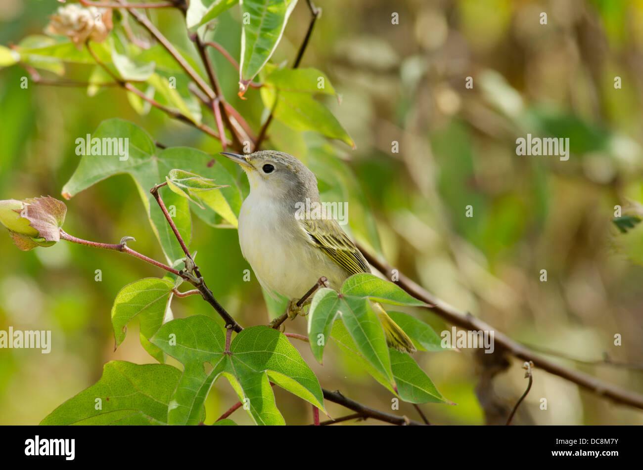 Ecuador, Galapagos, San Cristobal. Schnäpperrohrsänger im Baum (endemische Arten: Dendroica Petechia Aureola). Stockbild