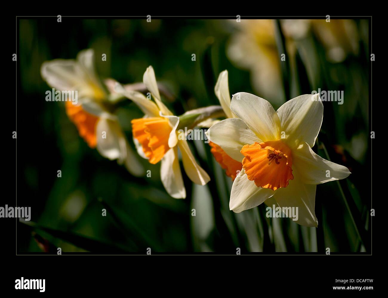 Narcissus Stockbild