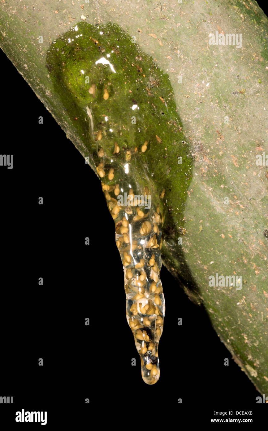 Eiern von einem kleinen Treefrog (Dendropsophus SP.) wird über einen Teich Regenwald in Ecuador Stockfoto