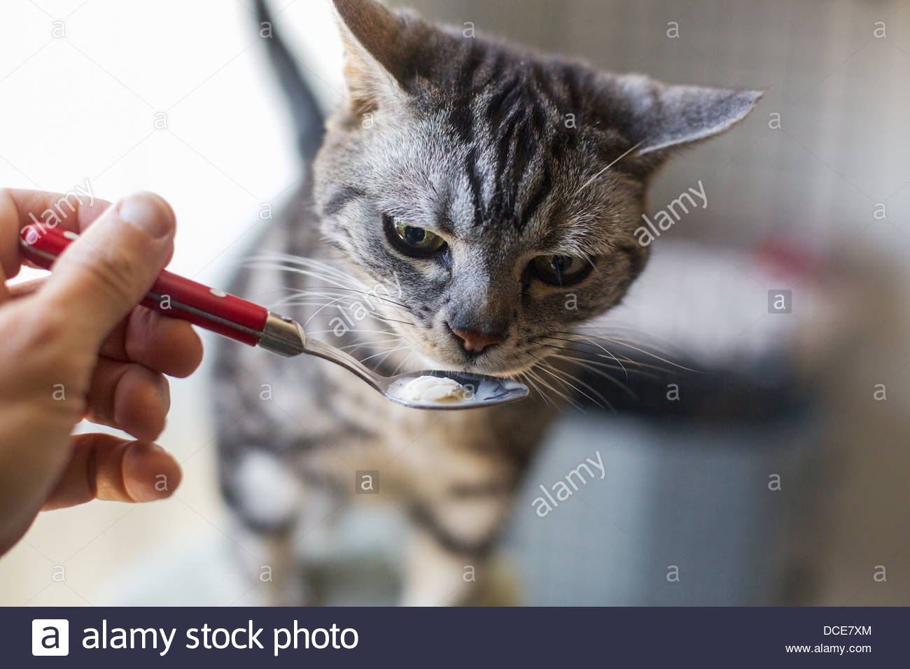 Katze vom Löffel essen Stockbild