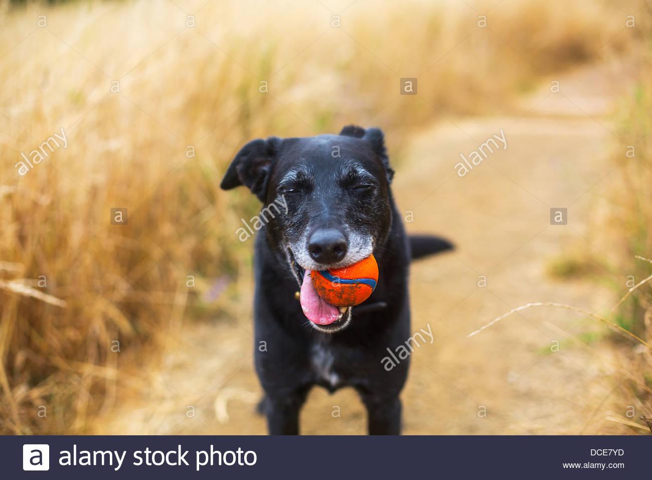 Senior Hund spielen mit orange Kugel im Feld Stockbild
