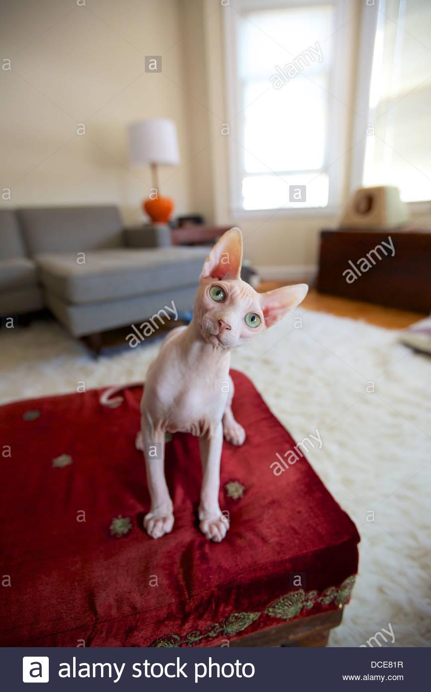 Haarlose Katze Kätzchen mit Sphinx und roten Ottomane in zeitgenössischen Haus Stockbild