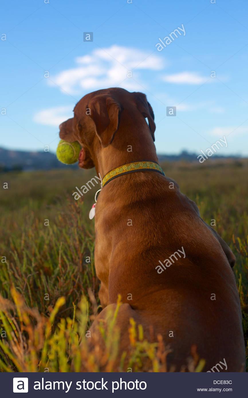 Hund mit Ball im Mund vor einem blauen Himmel in einem grünen Feld Stockbild