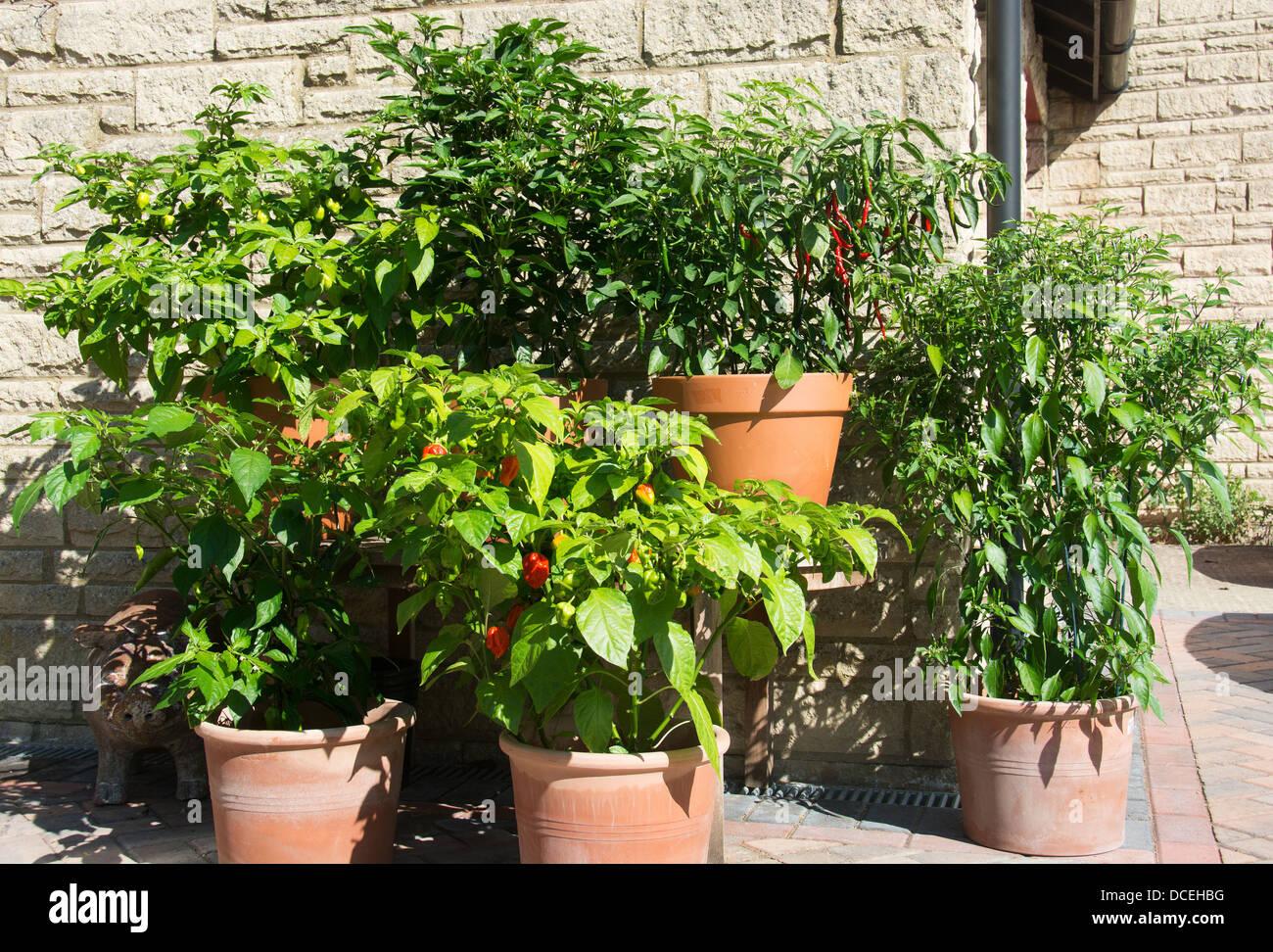 Eine Vielzahl Von Eingemachten Chili Pflanzen An Einem Sonnigen