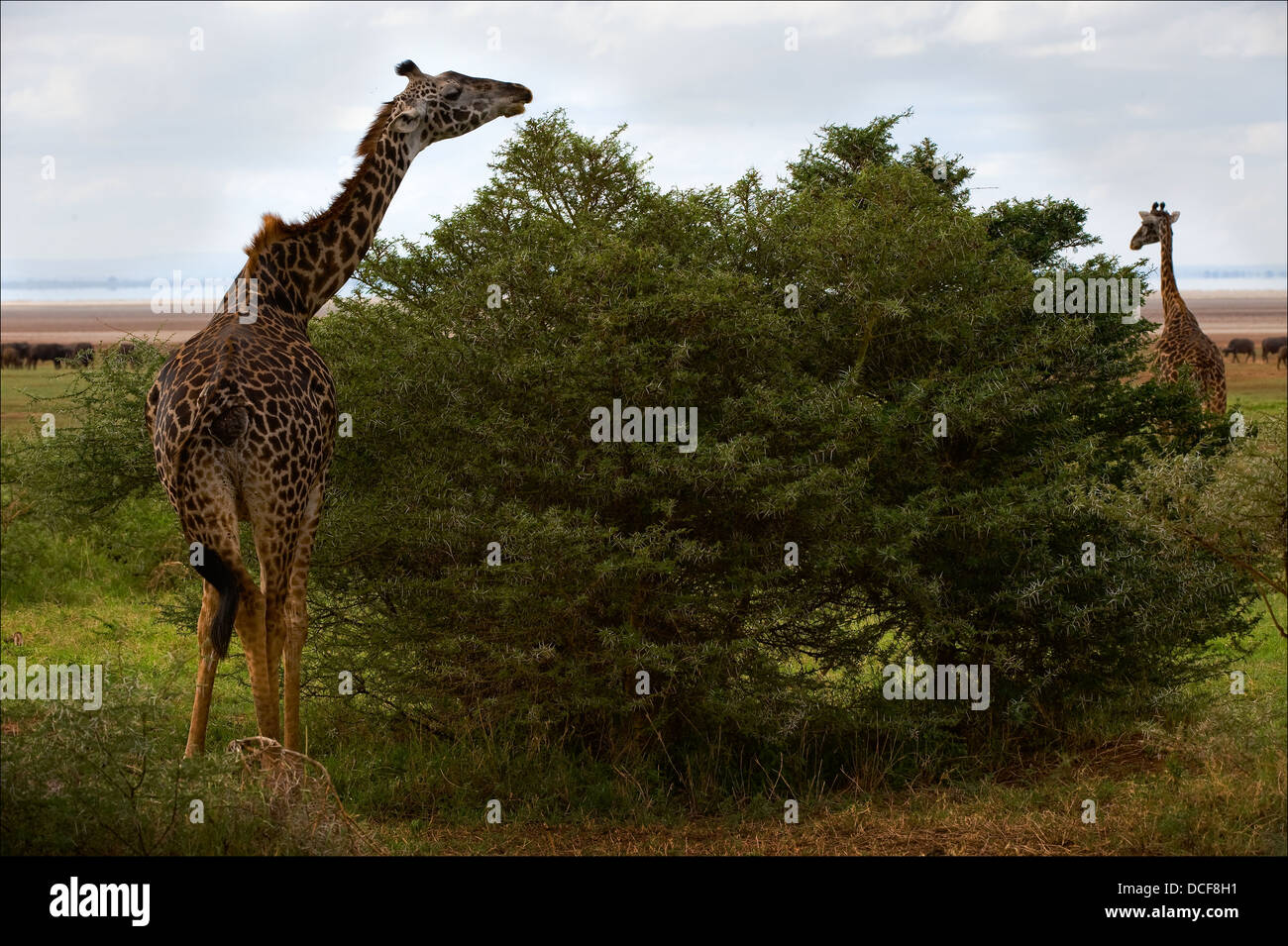 wildanimal stockfotos wildanimal bilder alamy. Black Bedroom Furniture Sets. Home Design Ideas