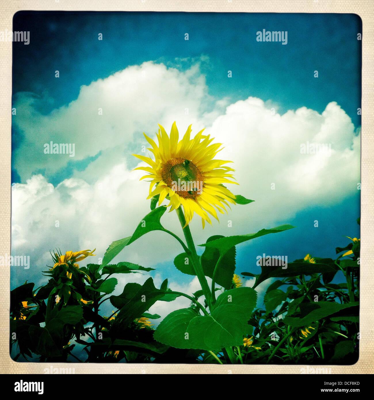 Eine Sonnenblume - Foto mit dem iPhone und App Hipstamatic Stockfoto