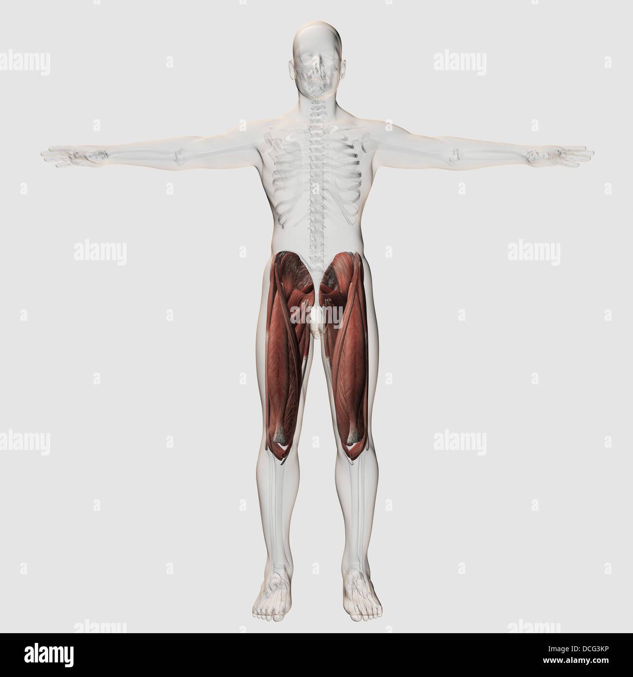 Rectus Femoris Muscle Stockfotos & Rectus Femoris Muscle Bilder - Alamy