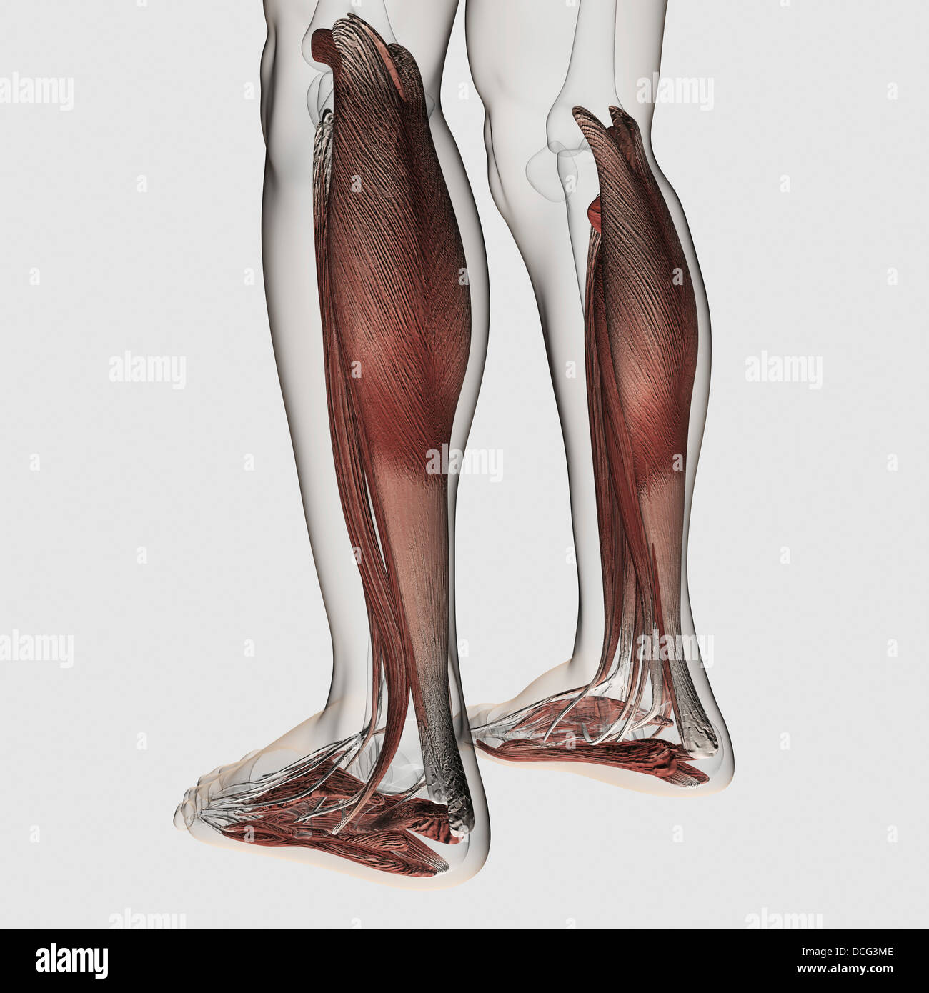 Fibularis Longus Stockfotos & Fibularis Longus Bilder - Alamy