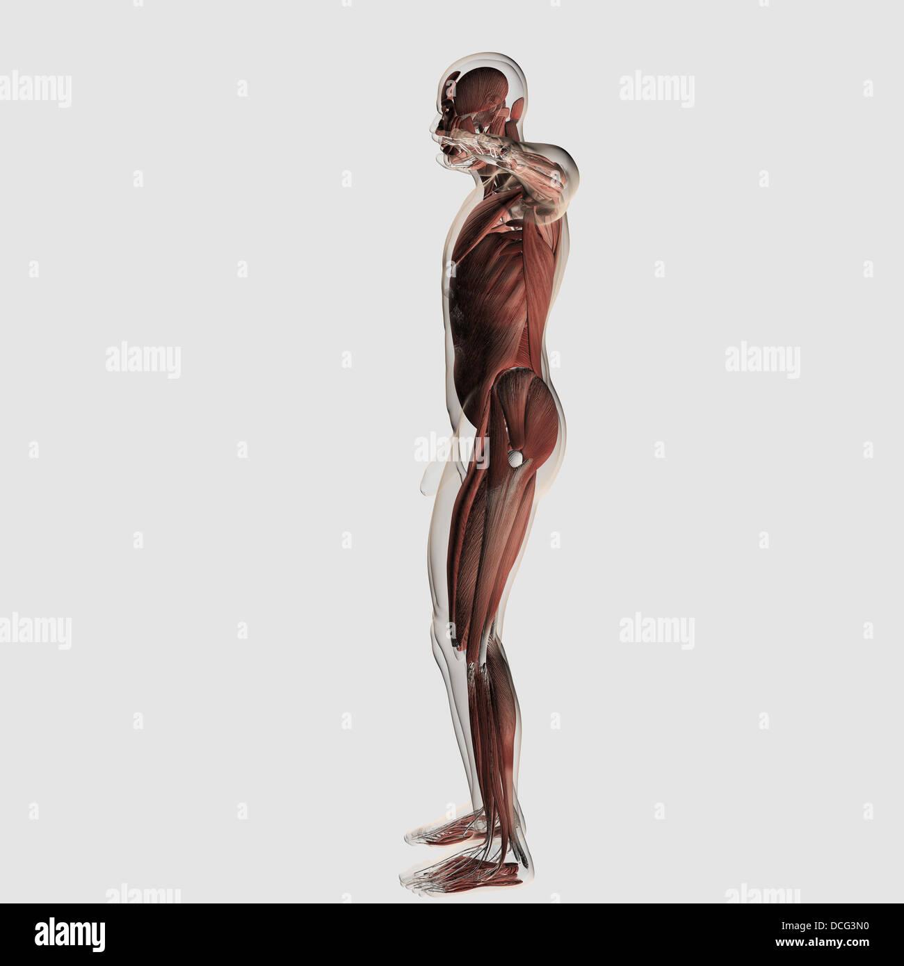 Ausgezeichnet Shin Muskelanatomie Ideen - Menschliche Anatomie ...