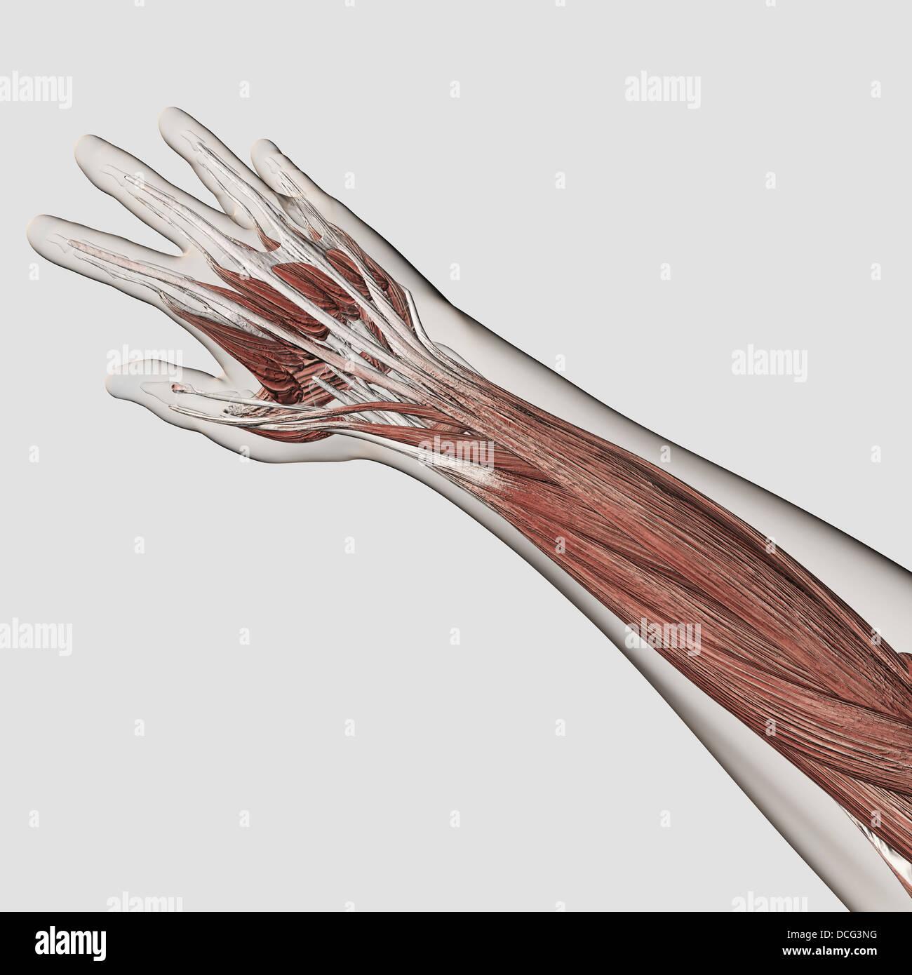 Muskel-Anatomie des menschlichen Arm und Hand Stockfoto, Bild ...