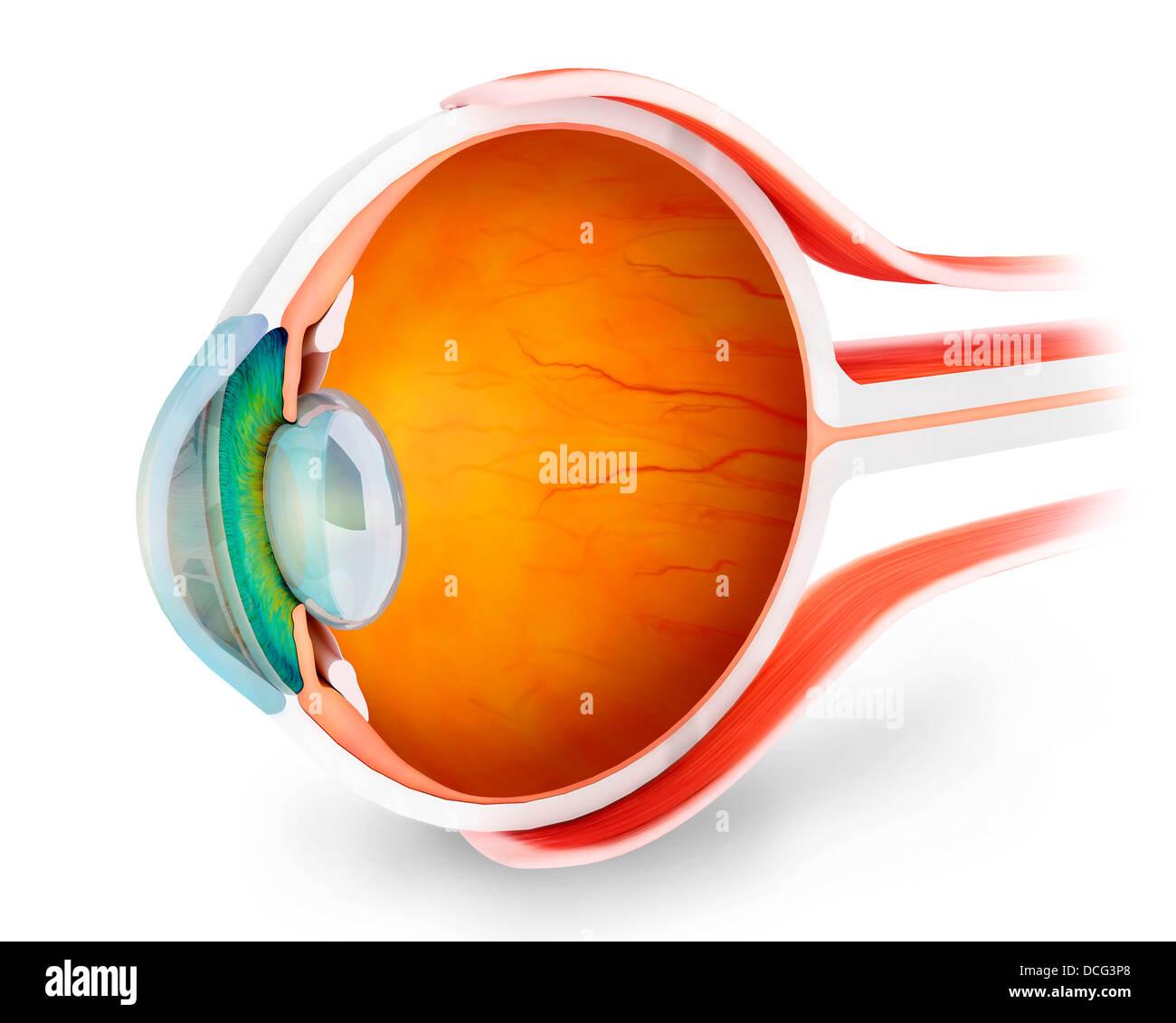 Eyeball Retina Cross Section Stockfotos & Eyeball Retina Cross ...
