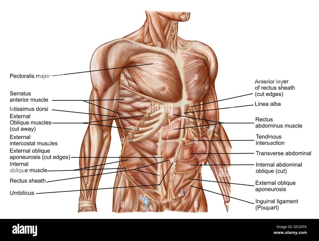 Anatomie der menschlichen Bauchmuskeln Stockfoto, Bild: 59361238 - Alamy