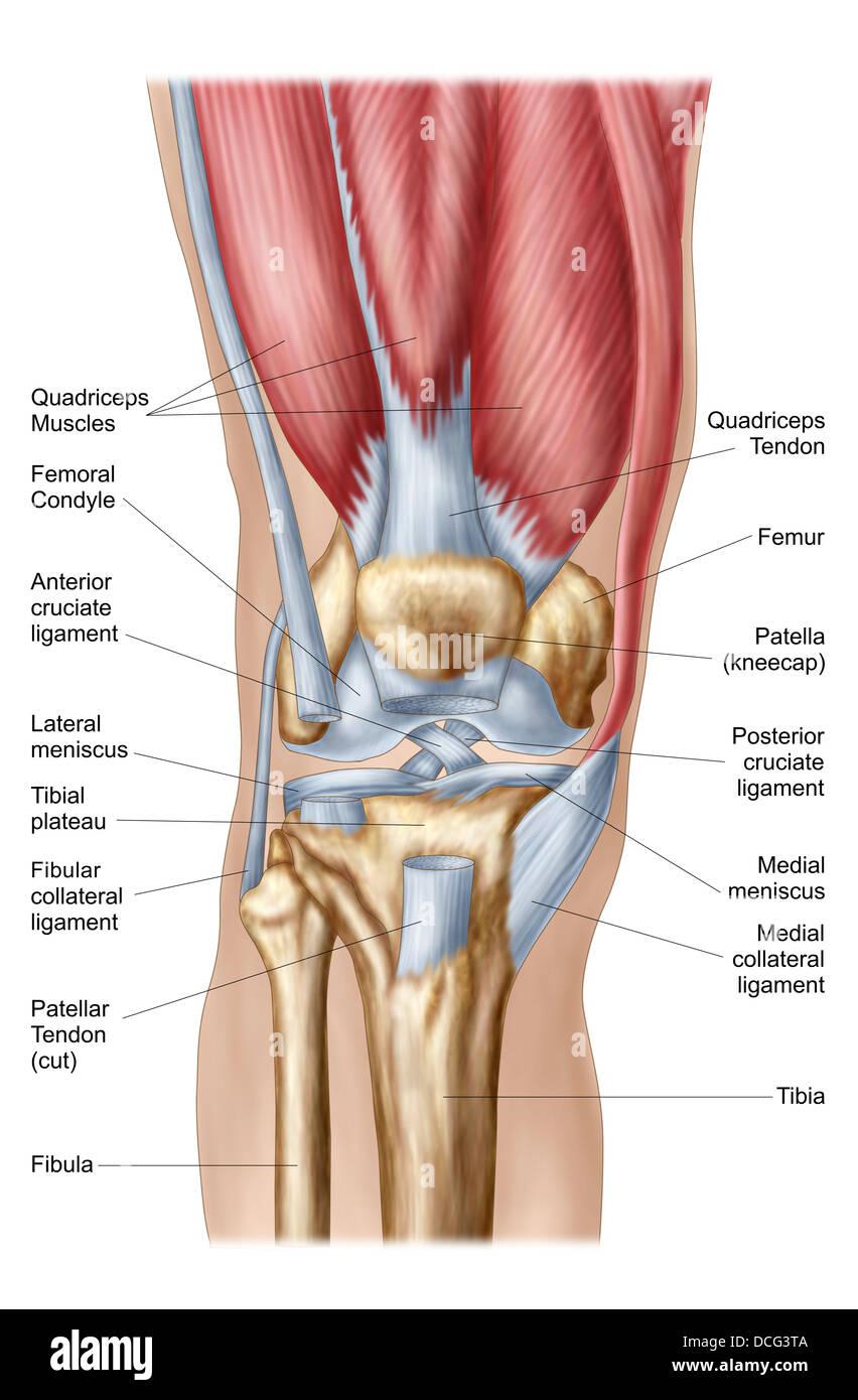 Anatomie des menschlichen Kniegelenks Stockfoto, Bild: 59361242 - Alamy