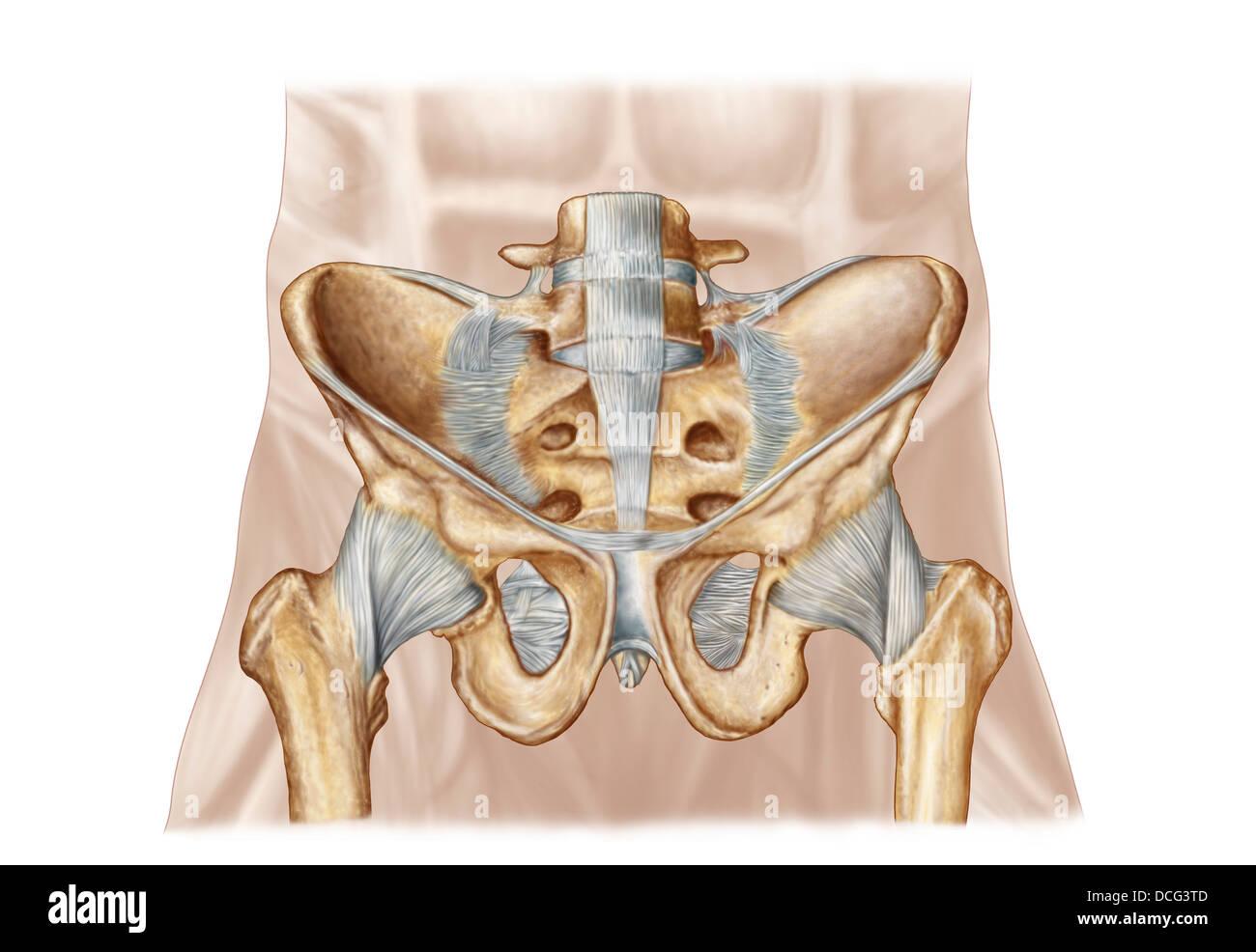 Anatomie der menschlichen Beckenknochen und Bänder Stockfoto, Bild ...