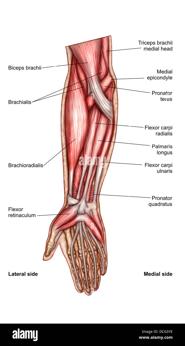 Anatomie des menschlichen Unterarmmuskeln, oberflächliche Ansicht ...