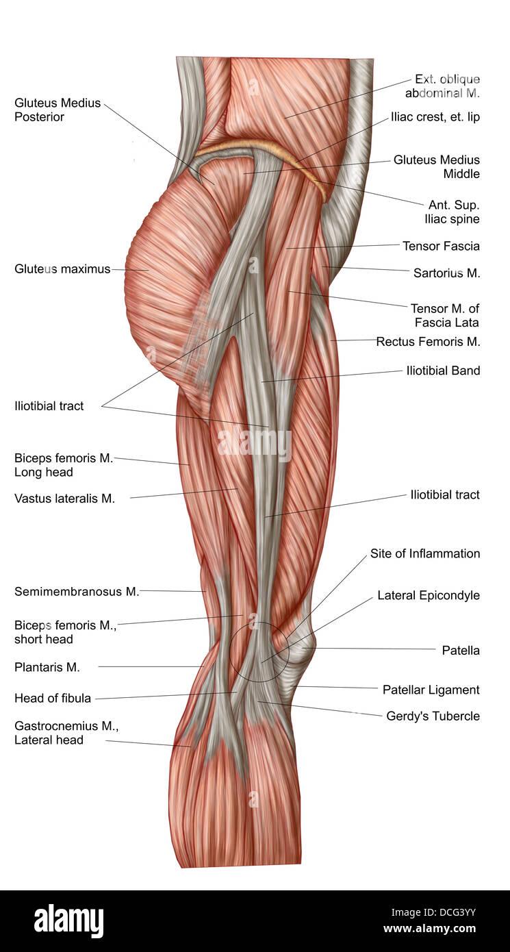 Anatomie des menschlichen Oberschenkelmuskulatur, Ansicht von ...
