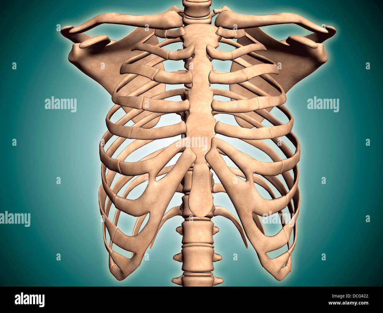 Nahaufnahme des menschlichen Brustkorb Stockfoto, Bild: 59361402 - Alamy