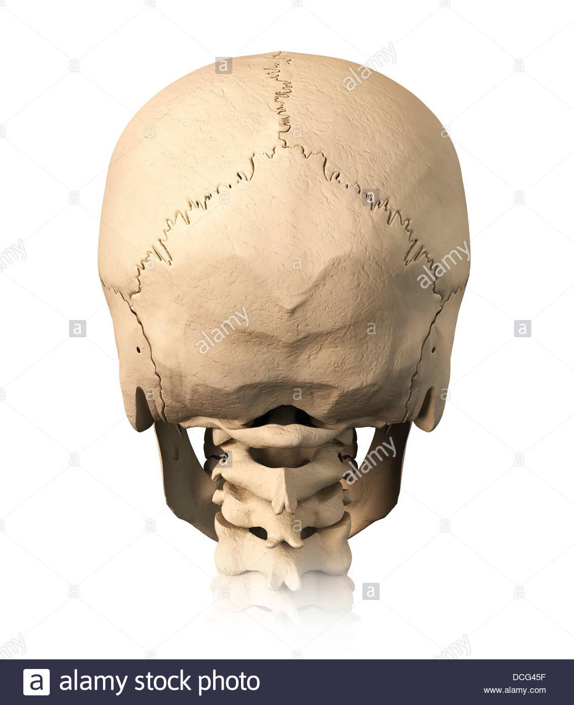 Wunderbar Die Anatomie Des Schädels Bilder - Menschliche Anatomie ...