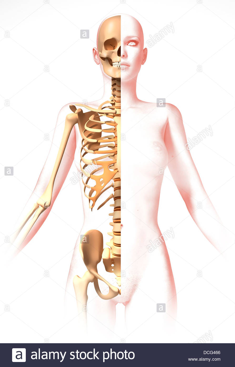Anatomie des weiblichen Körpers mit Skelett, stilisierte Aussehen ...
