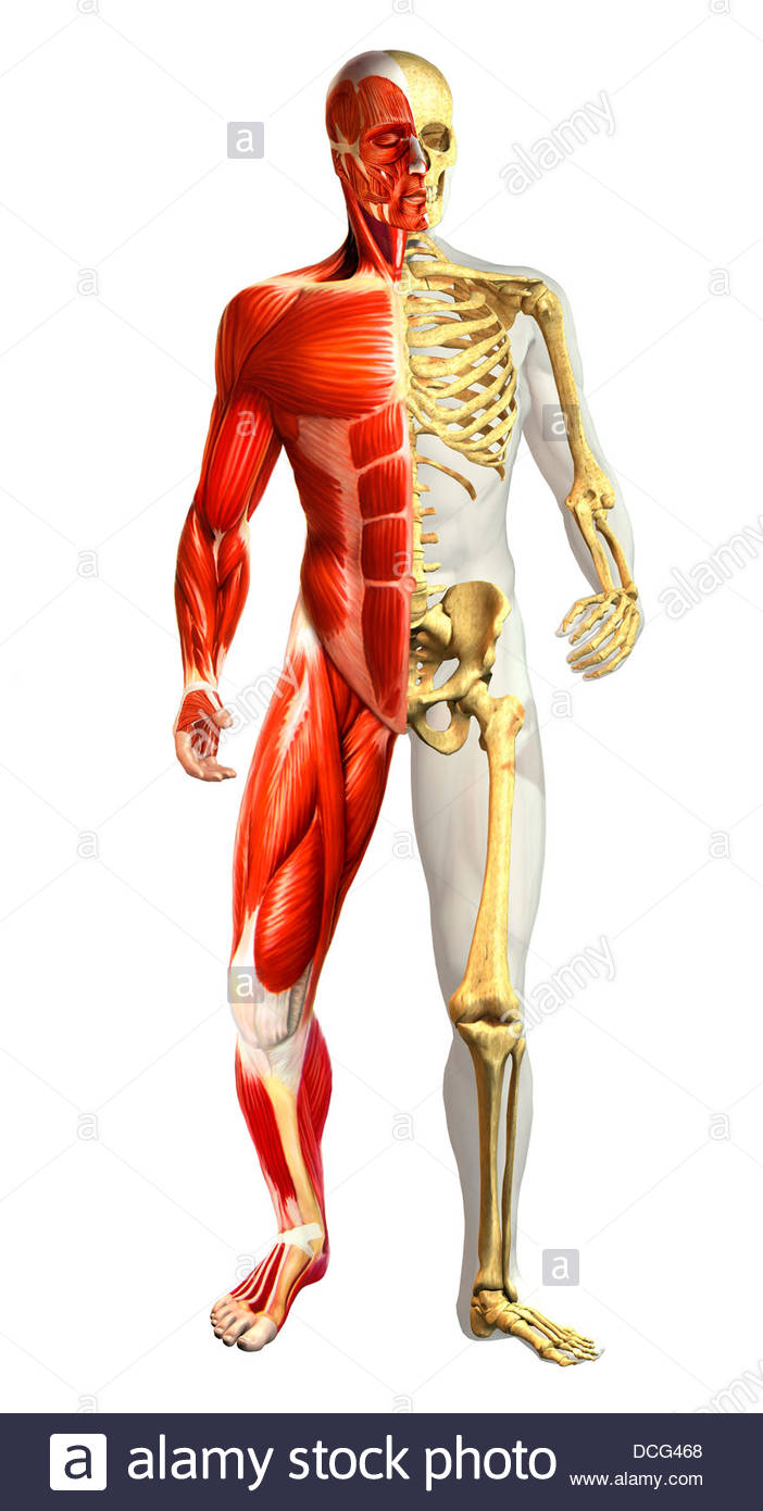 Anatomie des männlichen Körpers mit halben Skelett und halbe ...