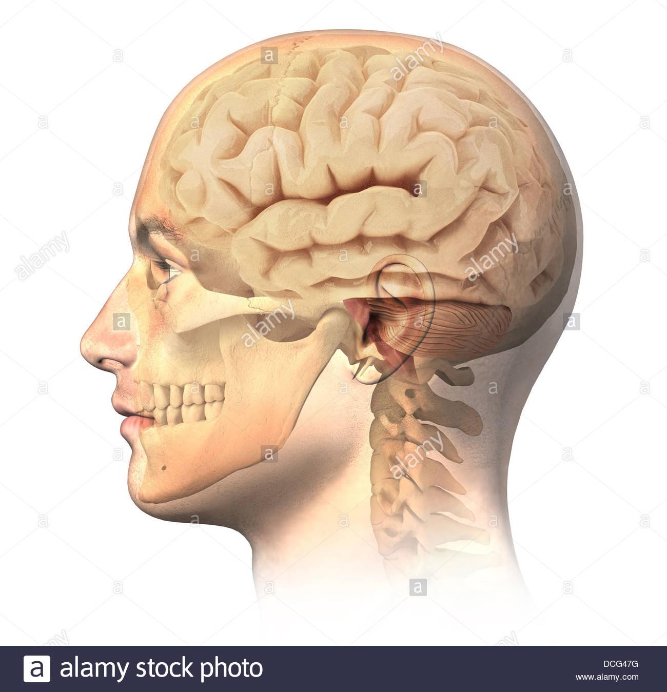 Anatomie des menschlichen Kopfes mit Schädel und Gehirn überlagert ...