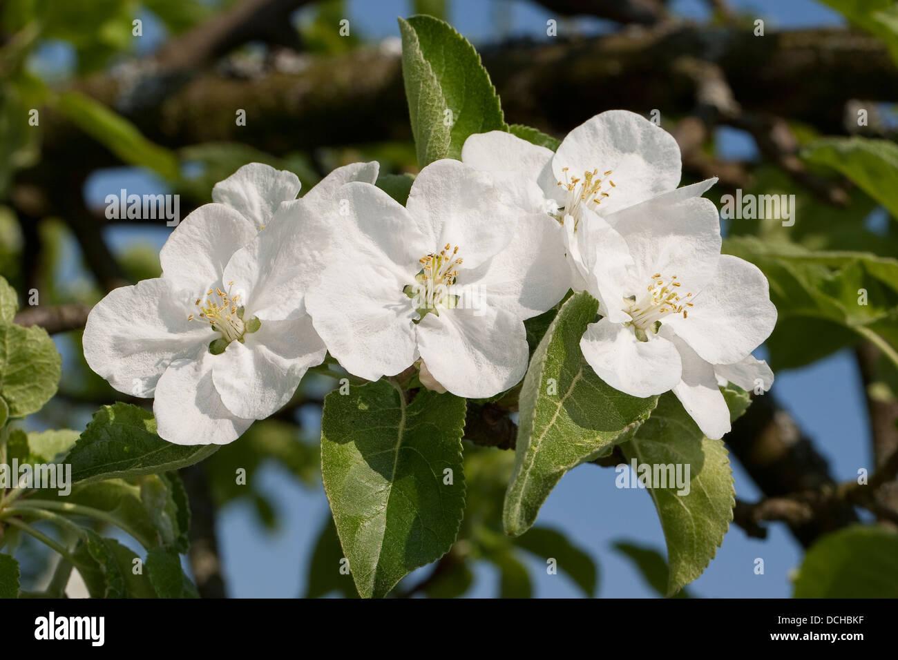 Apple, Obstbaum, Früchte tragenden Baumes, kultur-Apfel, Apfelbaum, Obst, obstbaum, Apfelblüte, Malus Stockbild