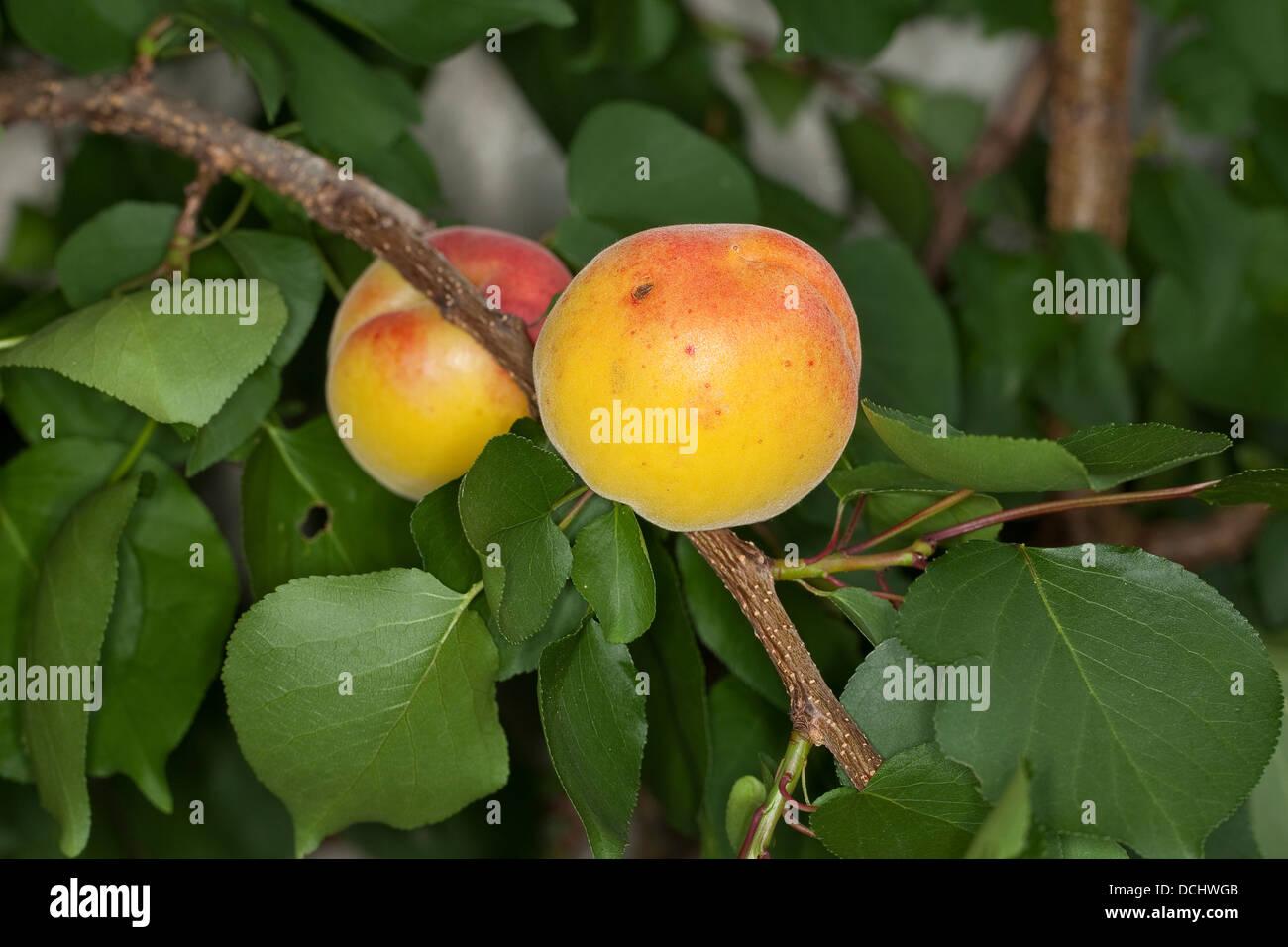 aprikose aprikose aprikosen marille marillen obst fr chte tragenden baumes obstbaum obst. Black Bedroom Furniture Sets. Home Design Ideas