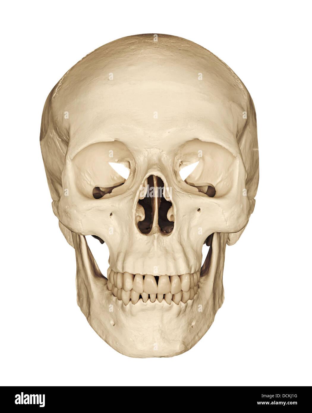 menschlicher Schädel Skelett Kopf vor einem weißen Hintergrund isoliert Stockbild
