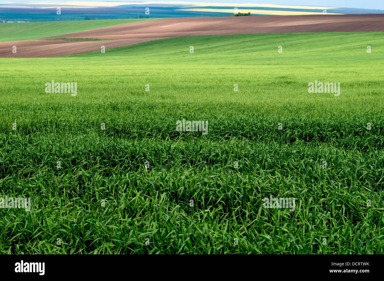 Frühling Landschaft. Grünes Weizenfeld. Stockbild