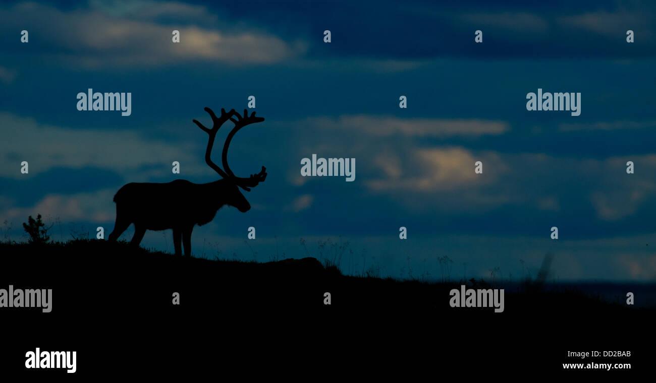 Silhouette von einem männlichen Rentier mit samt Geweih in Schwedisch-Lappland Stockbild