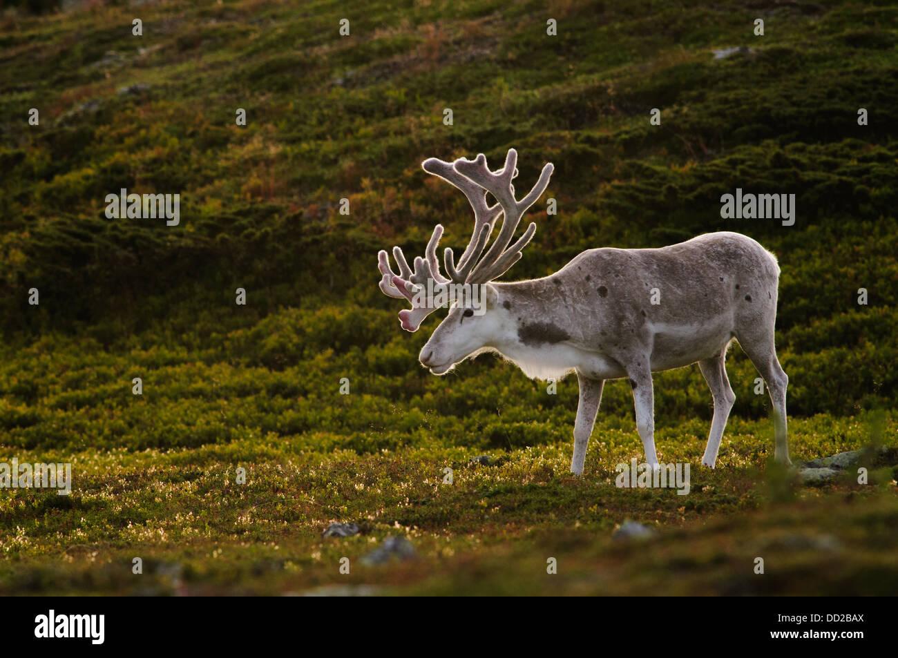 Weißen männlichen Rentier mit samt Geweih in Abend-Hintergrundbeleuchtung in Schwedisch-Lappland Stockbild
