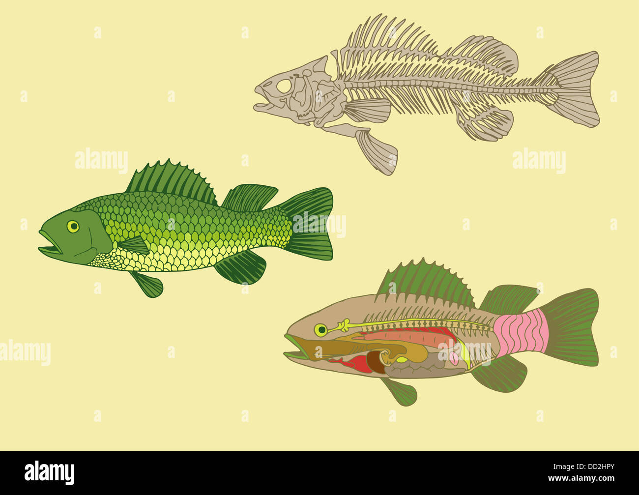Zoologie, Anatomie der Fische, Querschnitt und Skelett Stockfoto ...