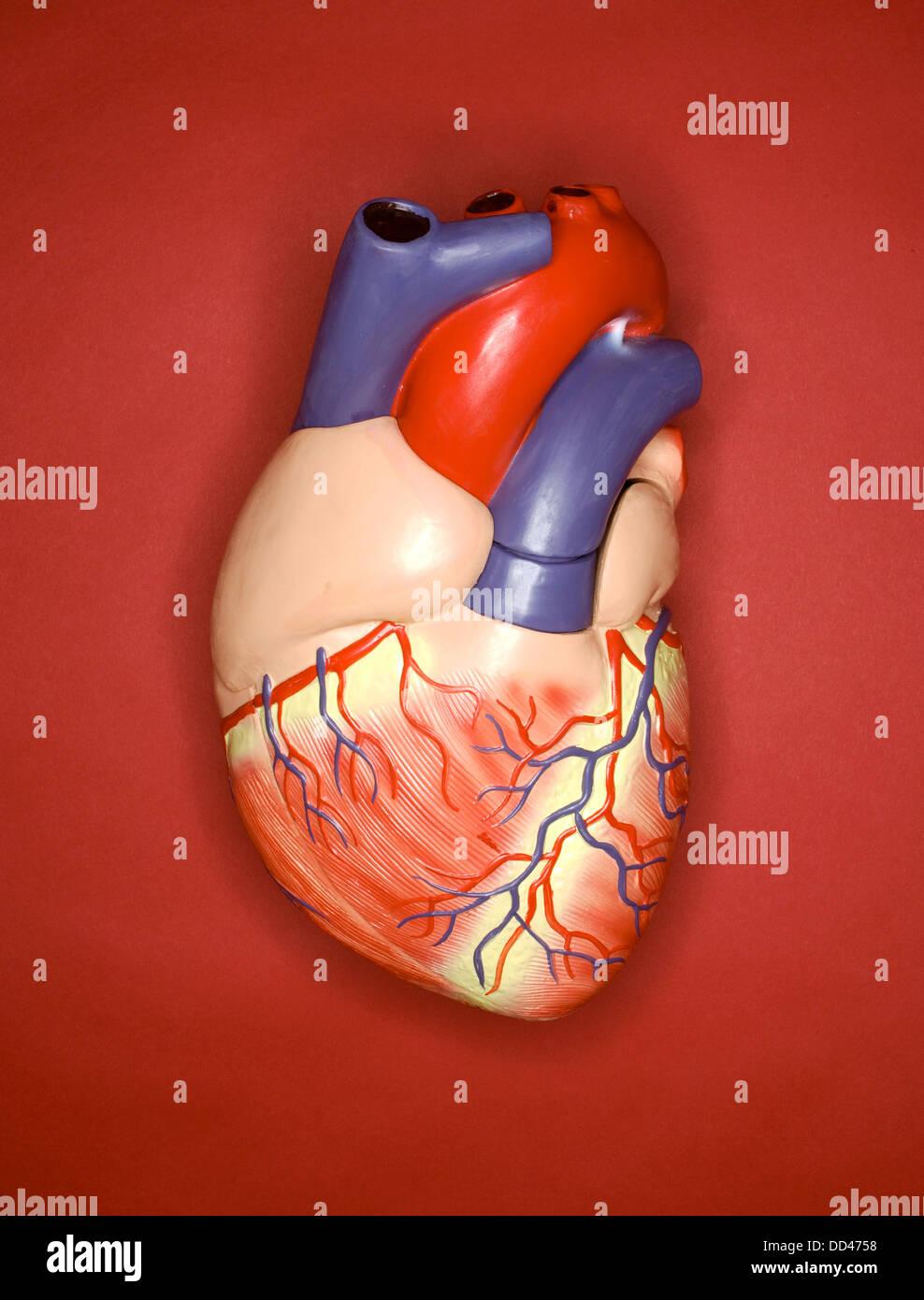Ein Modell des menschlichen Herzens auf einem roten Hintergrund aus Kunststoff Stockbild