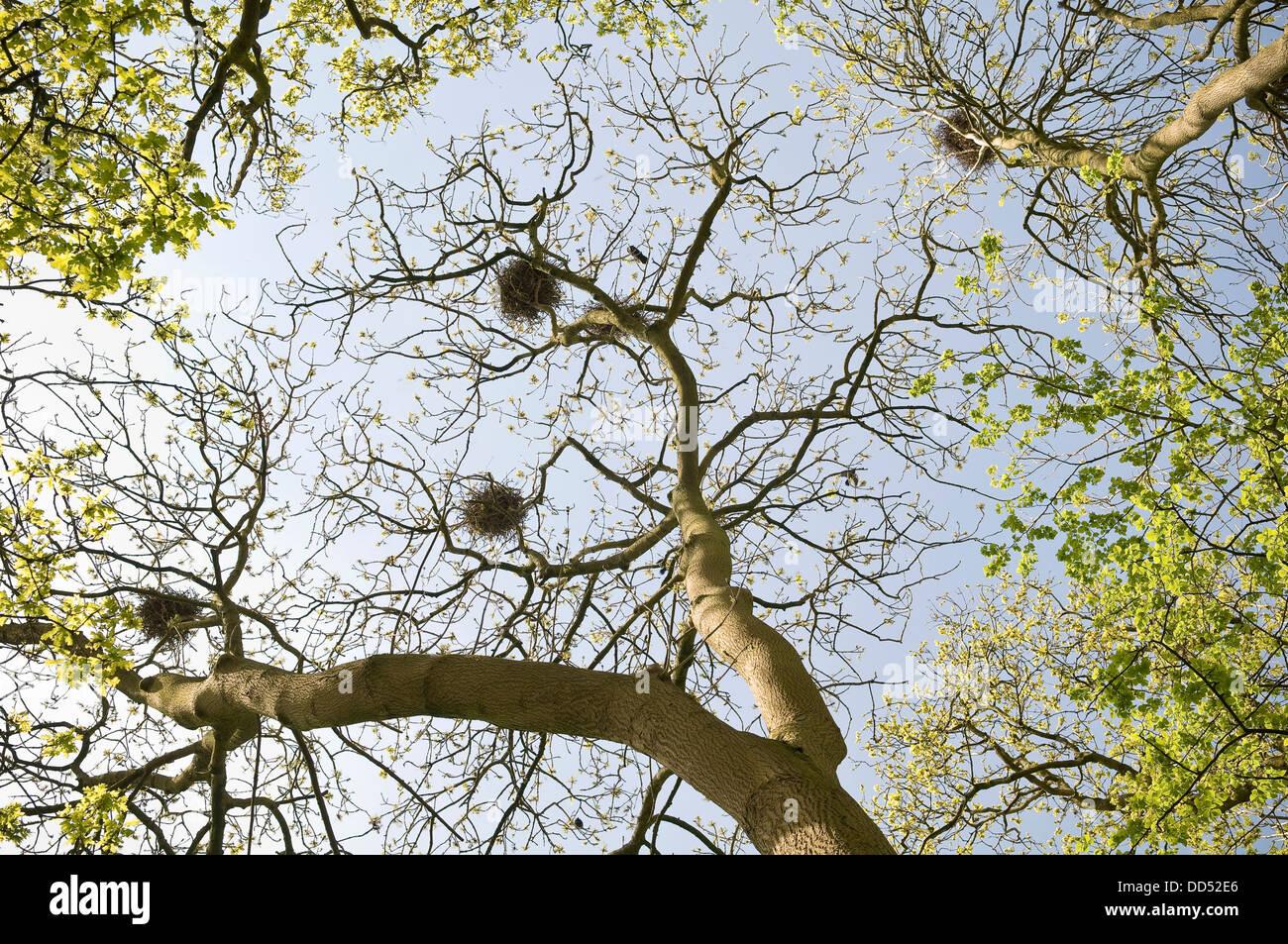 Krähen-Nester in einem Buche Wäldchen in Wiltshire, Großbritannien Stockbild