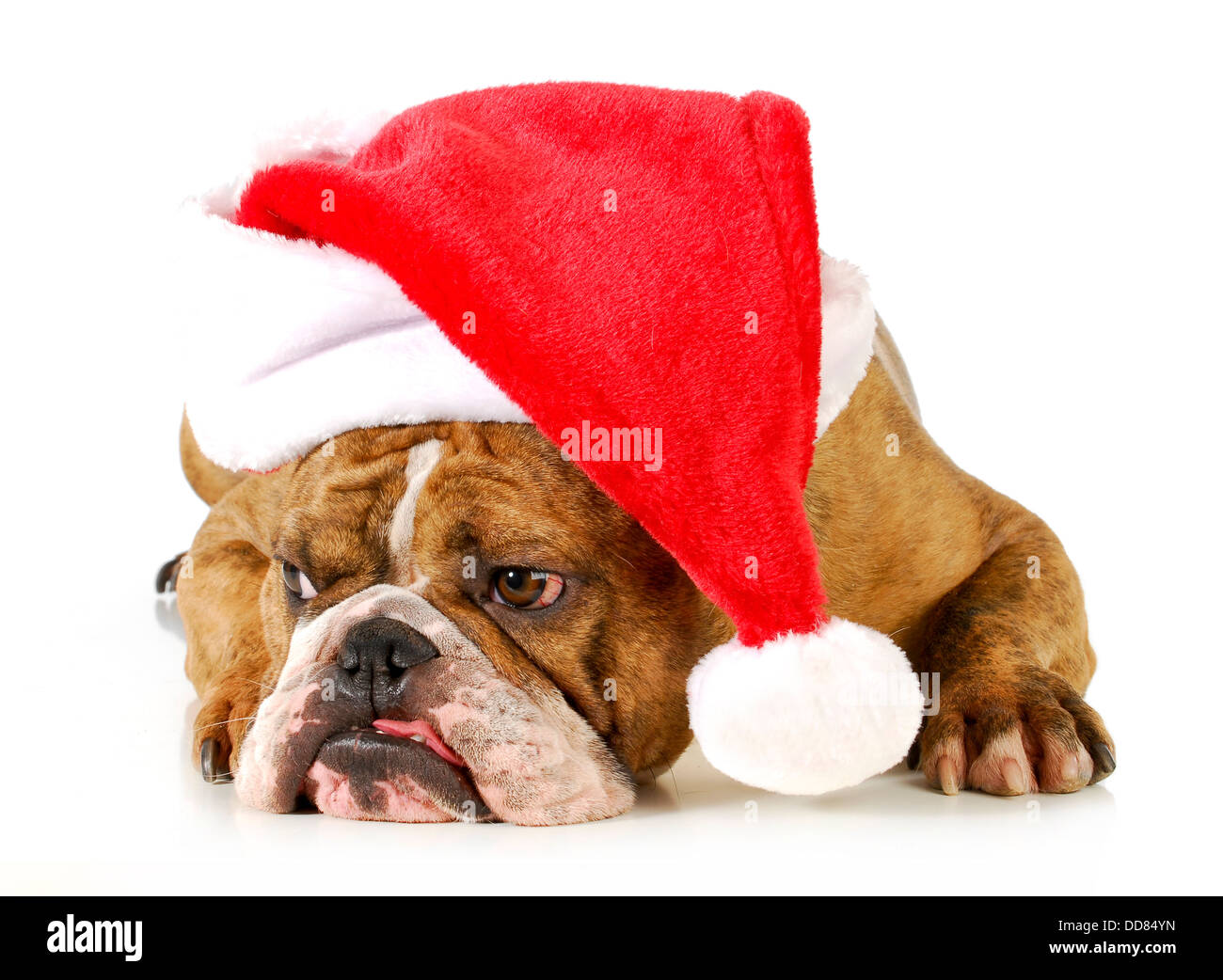 bulldog wearing santa hat stockfotos bulldog wearing santa hat bilder alamy. Black Bedroom Furniture Sets. Home Design Ideas