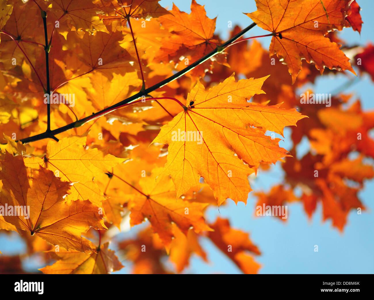 Ahornblätter Niederlassung über blauen Himmel Stockbild