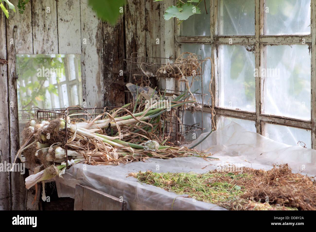 Foto Aus Der Organischen Pottinghalle, Gärtner, Englischer Garten, UK. Nach  Hause Angebauten Knoblauch Trocknen Regal.