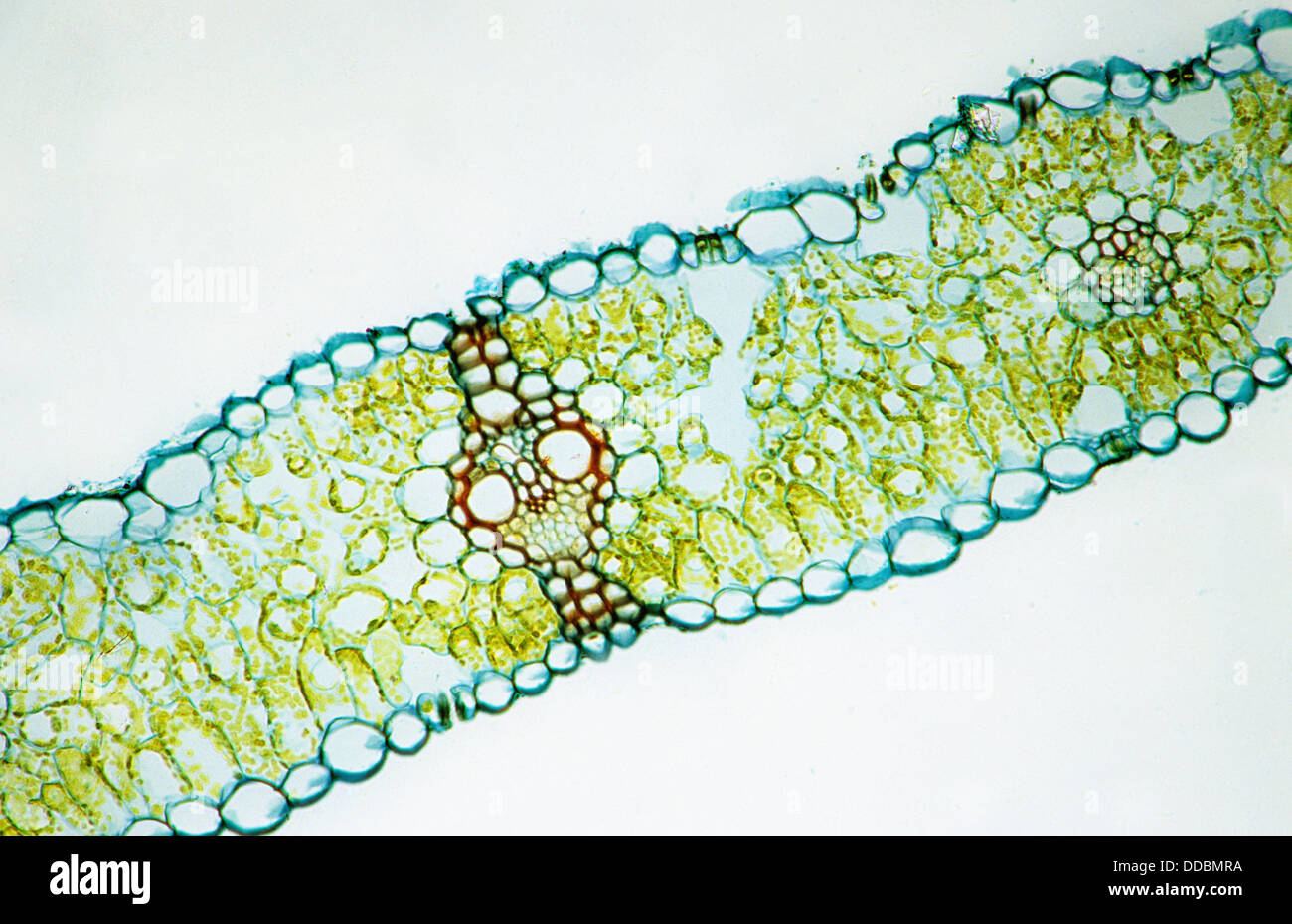 Monocotyledon Stockfotos & Monocotyledon Bilder - Alamy