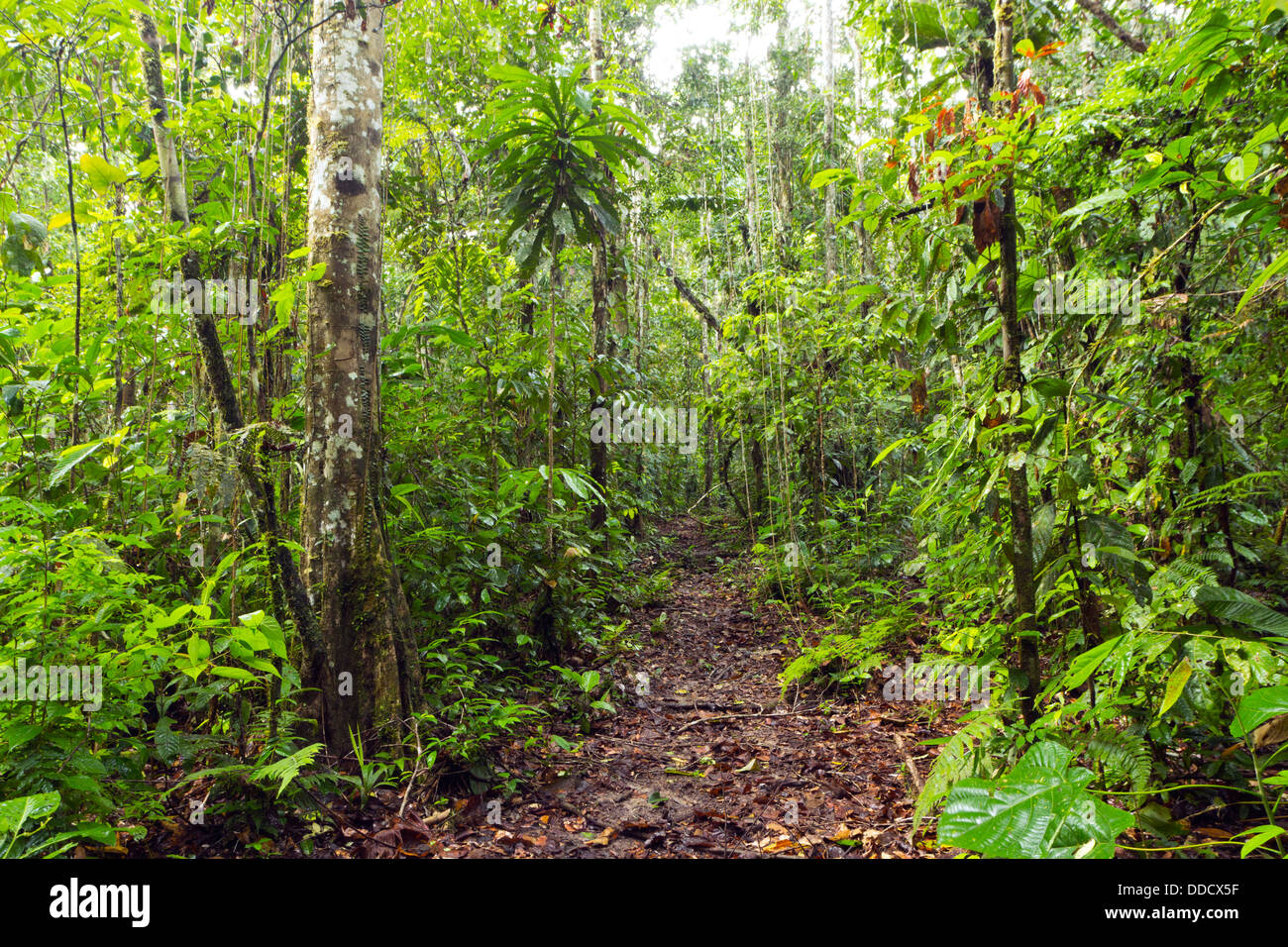Weg durch tropischen Regenwald im ecuadorianischen Amazonasgebiet Stockbild