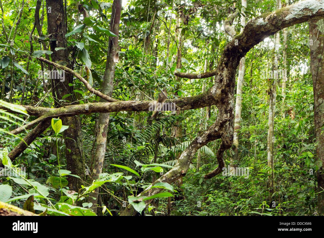 Tot gefallenen Ast im tropischen Regenwald, Ecuador Stockbild