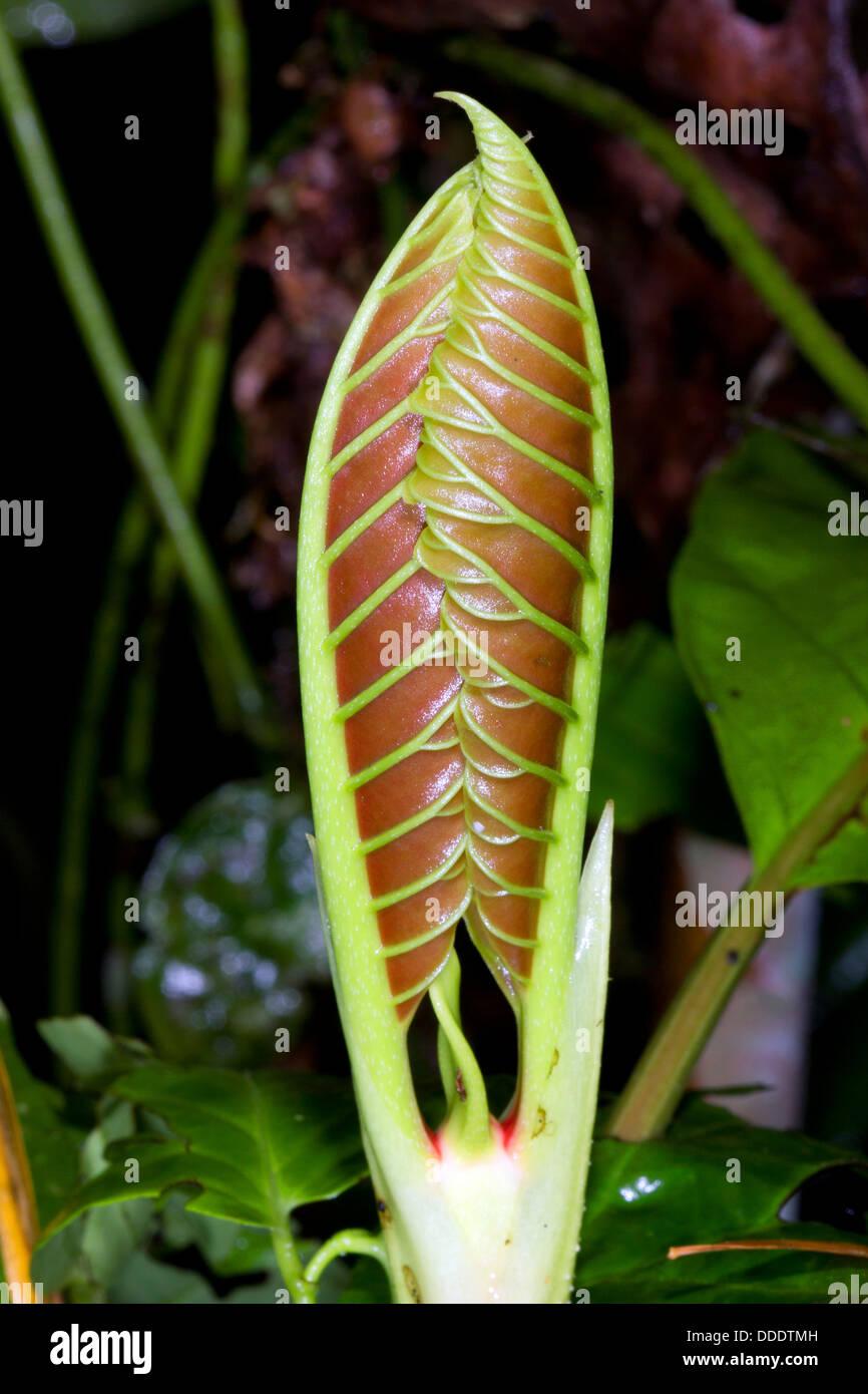 Paar neue Blätter an der Spitze einer Regenwald-Filiale, Ecuadoir. Stockbild