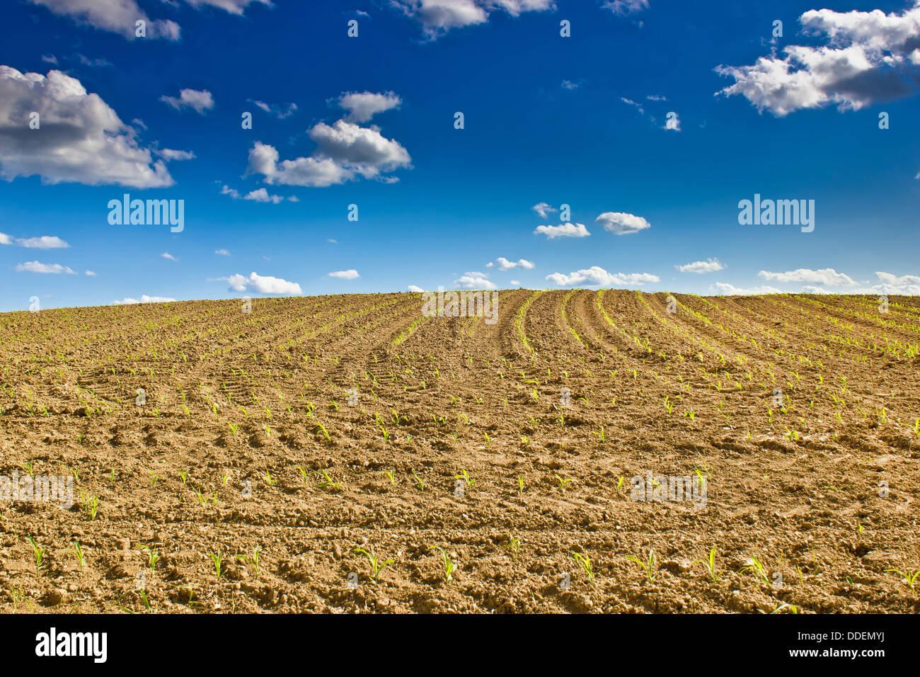 Kornfeld - neu gesäten Maispflanzen auf einer Wiese unter blauem Himmel Stockbild