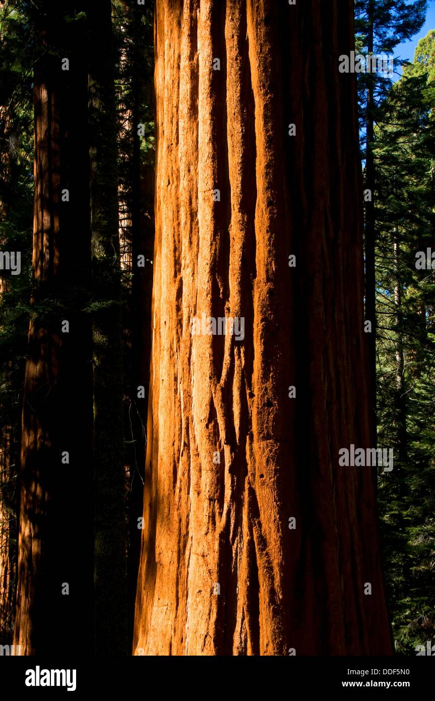 Mammutbaum Sequoia Sempervirens Stamm im Lost Grove, Sequoia Nationalpark, Kalifornien Stockbild