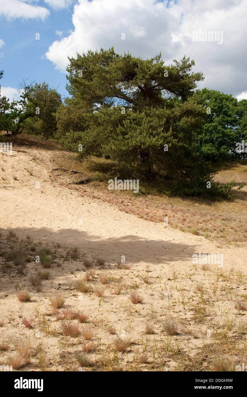 trockene Wiesen, xeric Grünland, im Landesinneren Düne, Sandy, Trockenrasen, Trocken-Rasen, Binnendüne Stockbild